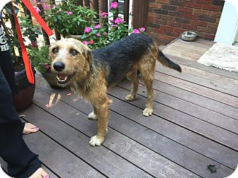 Airedale Terrier Mix Dog for adoption in West Milford, New Jersey - GRIFFIN-pending