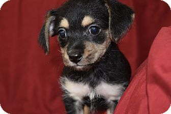 Cavalier King Charles Spaniel/Silky Terrier Mix Puppy for adoption in HARRISBURG, Pennsylvania - VIOLET