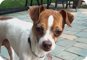 Jack Russell Terrier/Terrier (Unknown Type, Small) Mix Dog for adoption in San Francisco, California - Geoffrey