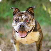 Adopt A Pet :: Chanel - Portland, OR