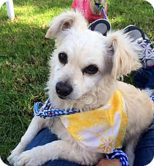 Pomeranian/Chihuahua Mix Dog for adoption in Irvine, California - BUTTER