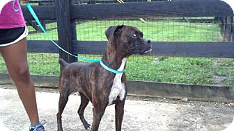 Boxer Dog for adoption in Brentwood, Tennessee - Patty