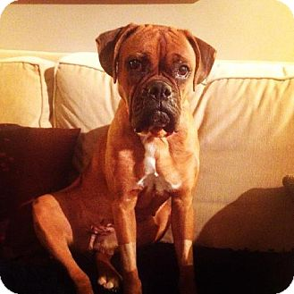 Boxer Dog for adoption in Brentwood, Tennessee - Kylie