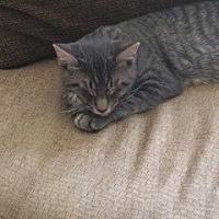 Domestic Shorthair Cat for adoption in Thibodaux, Louisiana - Mr. Miller FE1-9372