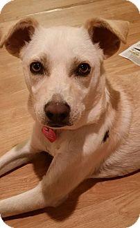 Italian Greyhound/Labrador Retriever Mix Dog for adoption in Studio City, California - Lucero