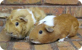Guinea Pig for adoption in Benbrook, Texas - Rhett and Miller