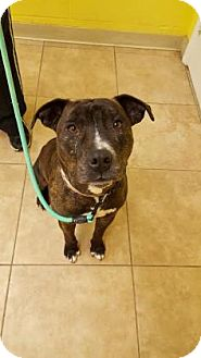 American Pit Bull Terrier Mix Dog for adoption in Reisterstown, Maryland - Bruno