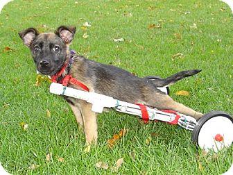 German Shepherd Dog/Terrier (Unknown Type, Medium) Mix Puppy for adoption in Libertyville, Illinois - Hope