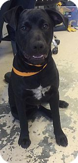 Labrador Retriever Mix Puppy for adoption in Lyndhurst, New Jersey - Bud