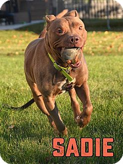 American Pit Bull Terrier Dog for adoption in Cary, Illinois - Sadie