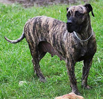 Mastiff/Hound (Unknown Type) Mix Dog for adoption in Missouri City, Texas - Penelope
