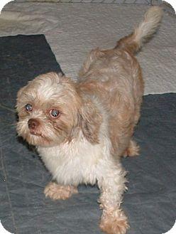 Shih Tzu Dog for adoption in Fairview Heights, Illinois - Sawyer