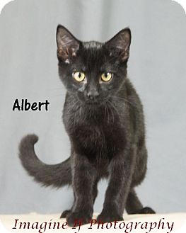 Domestic Shorthair Cat for adoption in Oklahoma City, Oklahoma - Albert