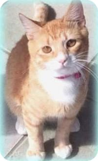 Domestic Shorthair Cat for adoption in New Smyrna Beach, Florida - Ginger