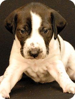 Hound (Unknown Type) Mix Puppy for adoption in Newland, North Carolina - Maddon