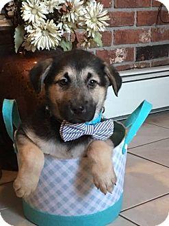 Shepherd (Unknown Type)/Rottweiler Mix Puppy for adoption in Minot, North Dakota - Anchor