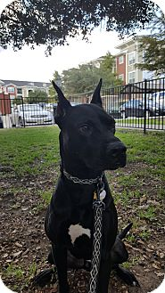 Labrador Retriever/Great Dane Mix Dog for adoption in San Antonio, Texas - Nasus
