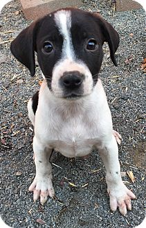 Beagle/Hound (Unknown Type) Mix Puppy for adoption in Pennigton, New Jersey - Lizio