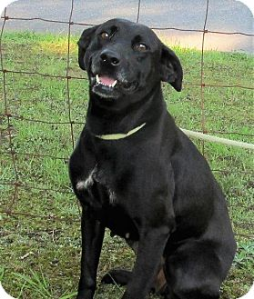 Labrador Retriever Mix Dog for adoption in Elmwood Park, New Jersey - Lennon