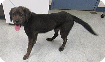 Retriever (Unknown Type) Mix Dog for adoption in Warrenton, North Carolina - REX