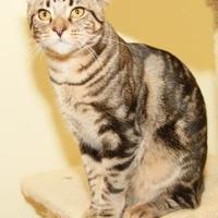 Domestic Shorthair/Domestic Shorthair Mix Cat for adoption in Greensboro, Georgia - Zuri
