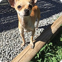 Adopt A Pet :: Pebbles - Yuba City, CA
