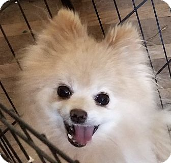 Pomeranian Dog for adoption in Gaffney, South Carolina - LittleBear- Pomeranian 9 lbs