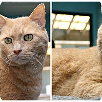 Adopt A Pet :: Sabertooth - Forked River, NJ