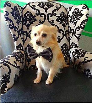 Pomeranian Dog for adoption in Studio City, California - Flynn