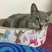 Adopt A Pet :: Cleo - Spring, TX