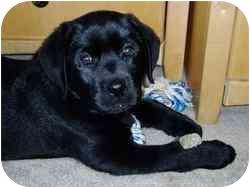 Labrador Retriever Mix Puppy for adoption in Coal City, West Virginia - Bart