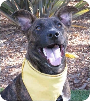 German Shepherd Dog Mix Puppy for adoption in San Diego, California - Bugsy