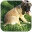Photo 1 - Norwegian Elkhound/Labrador Retriever Mix Dog for adoption in McConnelsville, Ohio - Goldie