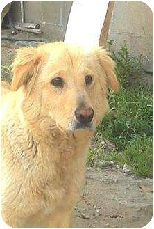 Golden Retriever Mix Dog for adoption in Poway, California - KELLY