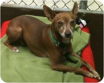 Pharaoh Hound Mix Dog for adoption in El Dorado Hills, California - Clancey