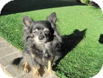Chihuahua Dog for adoption in Gilbert, Arizona - Zoey