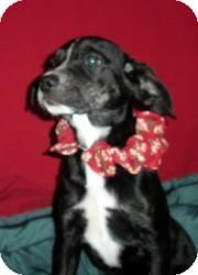 Spaniel (Unknown Type)/Labrador Retriever Mix Puppy for adoption in East Sparta, Ohio - Seinfeld