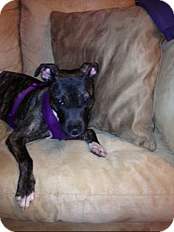 American Staffordshire Terrier Mix Dog for adoption in Long Beach, New York - Pearl