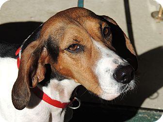 Treeing Walker Coonhound Dog for adoption in Harrisonburg, Virginia - Sally URGENT $200