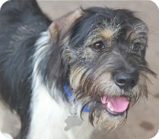 Schnauzer (Standard) Mix Puppy for adoption in Norwalk, Connecticut - Connor - adoption pending