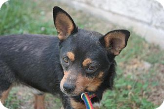 Chihuahua/Miniature Pinscher Mix Dog for adoption in Stilwell, Oklahoma - Touk