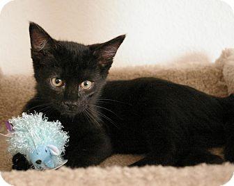Domestic Shorthair Kitten for adoption in Sacramento, California - Onyx