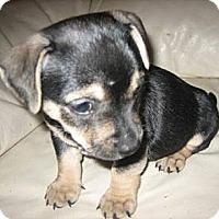 Adopt A Pet :: Sky - Chandler, AZ