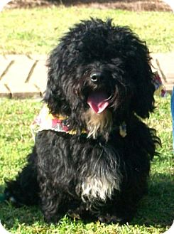 Cockapoo Mix Dog for adoption in Port St. Joe, Florida - Joseph
