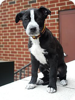Collie/Shepherd (Unknown Type) Mix Puppy for adoption in Detroit, Michigan - Curly-Adopted!