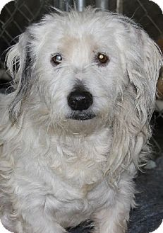 Terrier (Unknown Type, Small) Mix Dog for adoption in Savannah, Missouri - Archie
