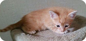 Domestic Shorthair Kitten for adoption in Geneseo, Illinois - Parker