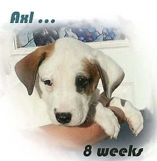 Labrador Retriever/Border Collie Mix Puppy for adoption in New Braunfels, Texas - Axl Rose