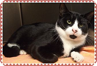 Domestic Shorthair Cat for adoption in Marietta, Georgia - TUX