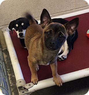 Pug Mix Puppy for adoption in Greensburg, Pennsylvania - Delta